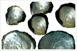 blacklip-shells